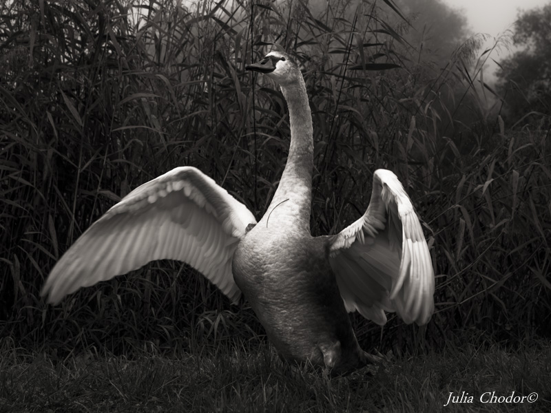 swan, back and white photography, prints for sale - Julia Chodor